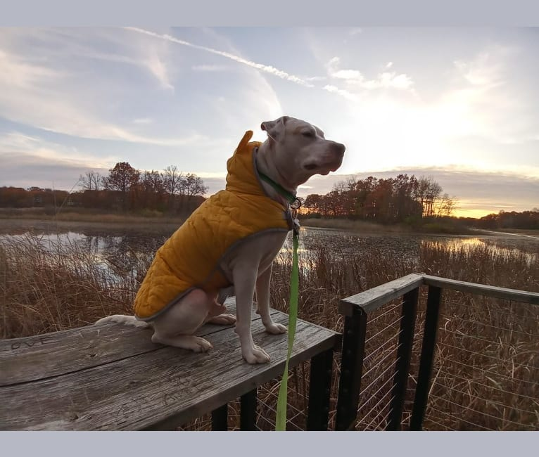 Photo of Baxter-bee, an American Pit Bull Terrier, Akita, Labrador Retriever, Boxer, and Mixed mix in Livonia, Michigan, USA
