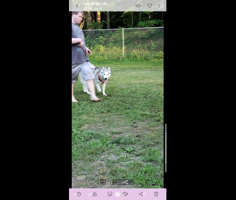 Photo of Eeko, a Siberian Husky  in Felton, Delaware, USA