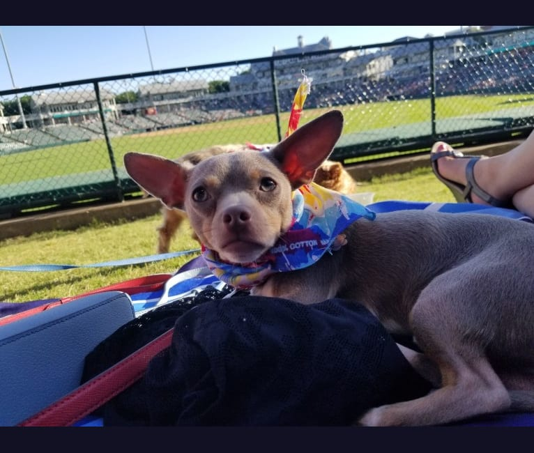 Photo of Lorenzo, a Chihuahua and Mixed mix in Lewisville, Texas, USA