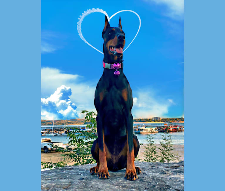 Photo of Lexie, a Doberman Pinscher  in Springtown, TX, USA