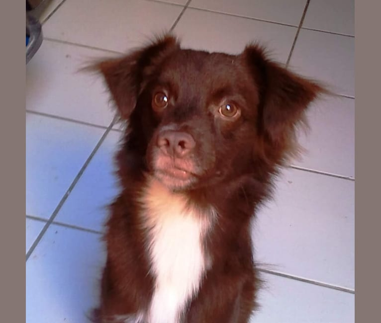 Photo of Canoli, a Chihuahua, Poodle (Small), Pekingese, Cocker Spaniel, and Mixed mix in Puerto Rico