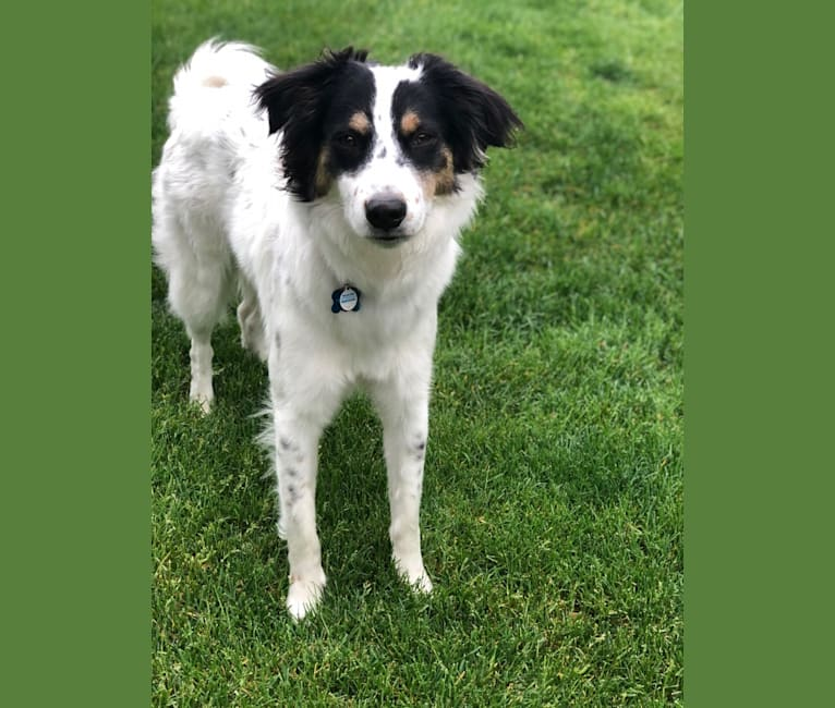 Photo of Max, a Collie, Labrador Retriever, Chow Chow, Llewellin Setter, German Shepherd Dog, and Mixed mix in Kentucky, USA