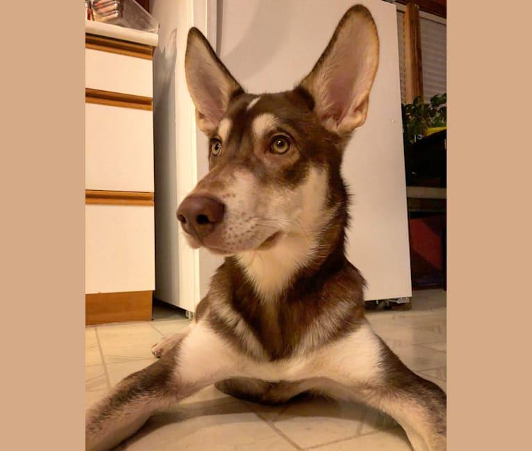 Photo of Hank, a Greenland Dog, Pointer, Alaskan Malamute, and Siberian Husky mix in Dawson, Yukon Territory, Canada