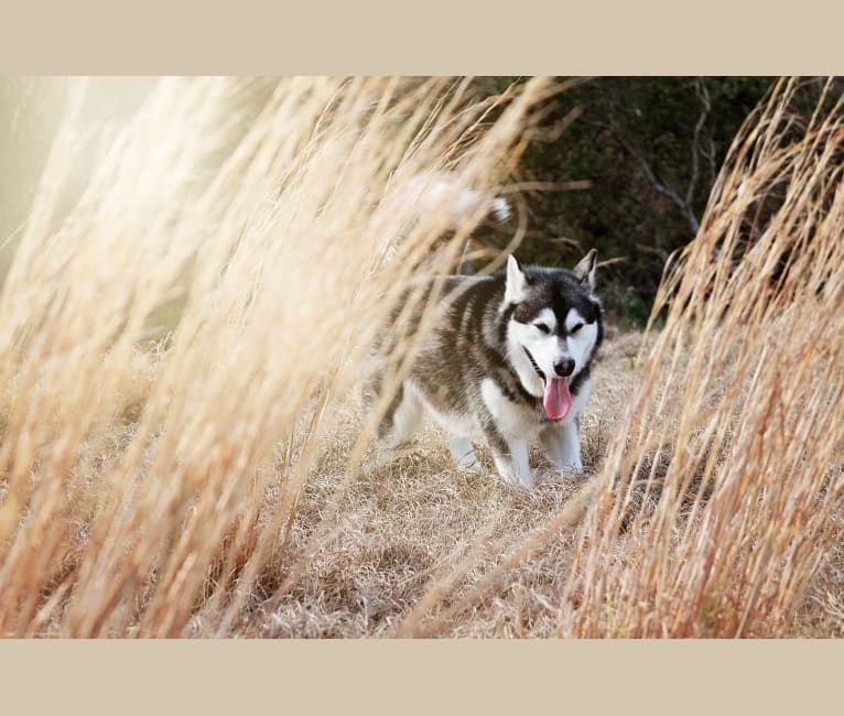 Photo of Tonka, an Alaskan Malamute  in Grand Island, Florida, USA