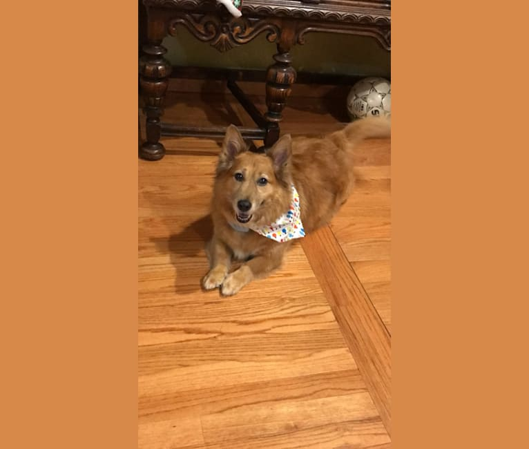Photo of Penny, a Miniature Pinscher, American Pit Bull Terrier, Collie, and Chow Chow mix