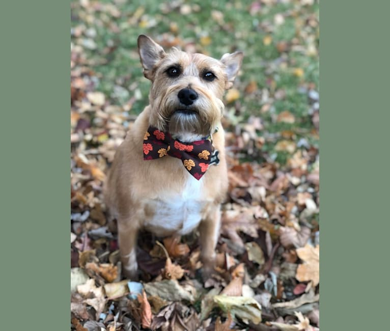 Photo of Wilbur, a Miniature Schnauzer and Rat Terrier mix in Georgia, USA