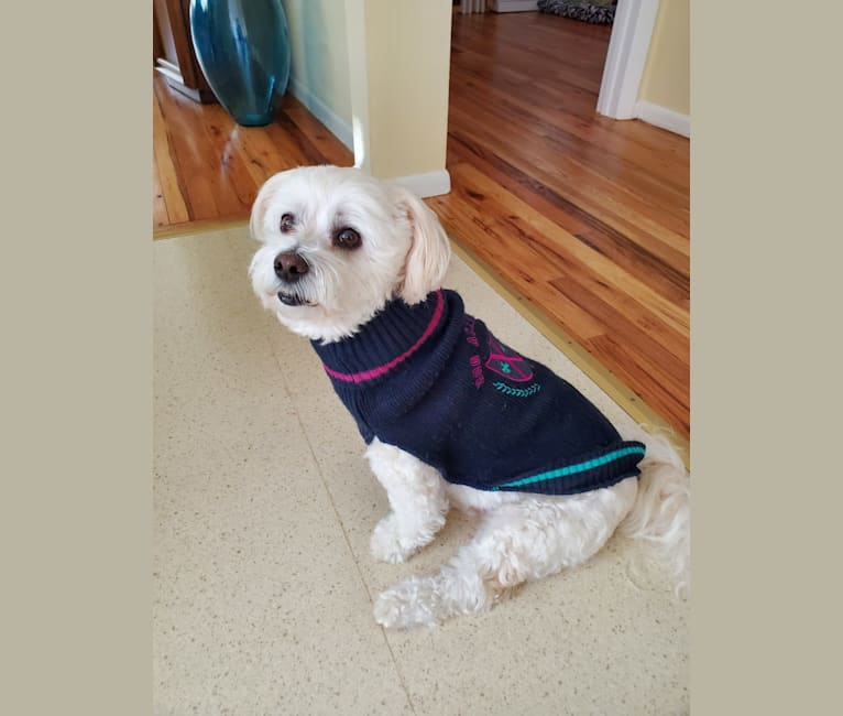 Photo of Jeter, a Havanese  in Toms River, New Jersey, USA