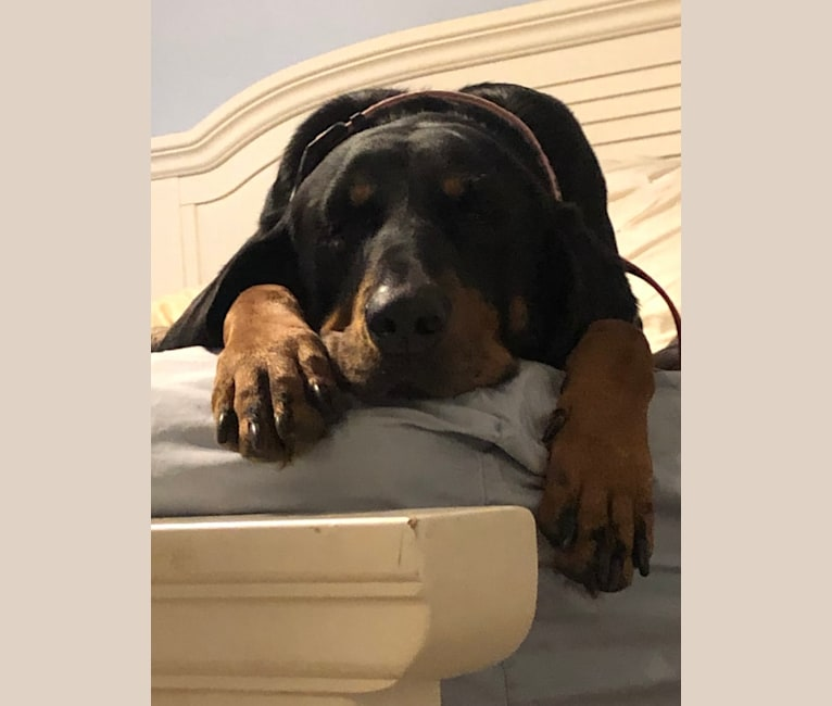 Photo of Rosie, a Black and Tan Coonhound  in Virginia, USA
