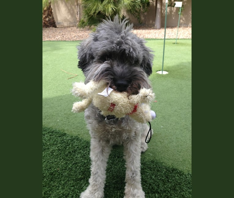 Photo of Snickers, a Miniature Schnauzer (7.5% unresolved) in Las Vegas, NV, USA