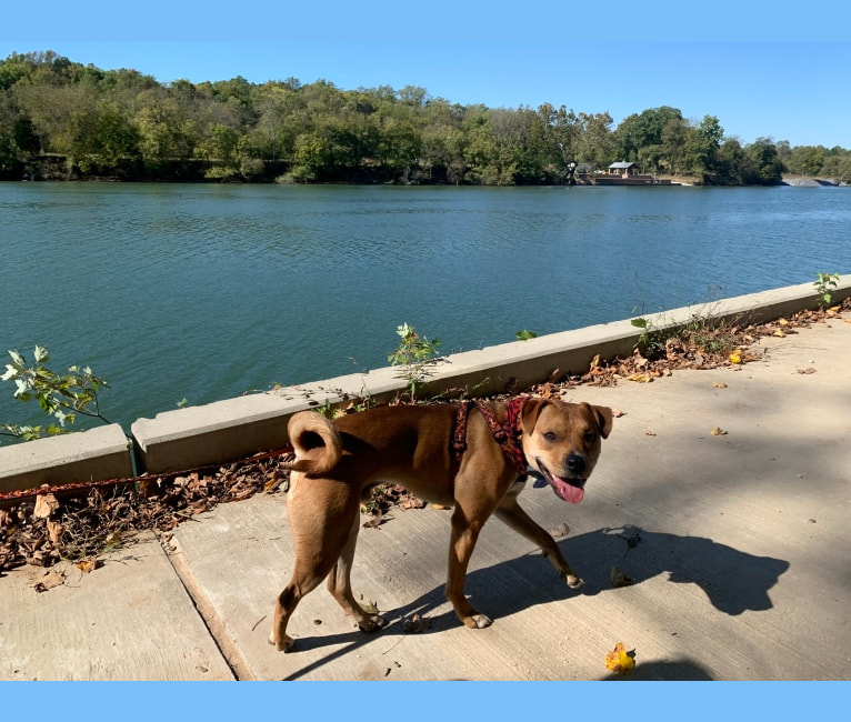 Photo of Andy, an American Staffordshire Terrier, American Bulldog, Rottweiler, and Australian Cattle Dog mix in Hagerstown, Maryland, USA