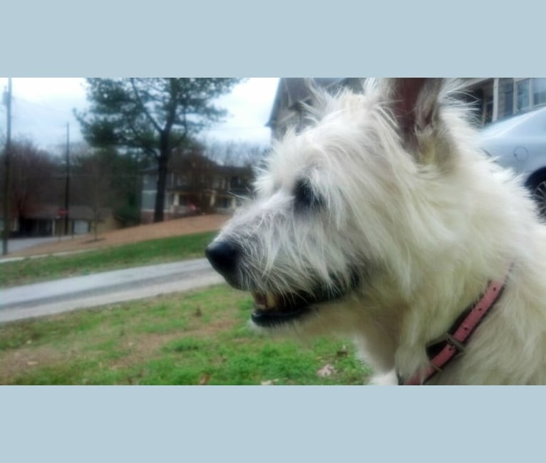Photo of Bella, a Chow Chow, Miniature Schnauzer, German Shepherd Dog, and Samoyed mix in Gainesville, GA, USA