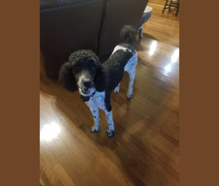 Photo of Chyna, a Poodle (Standard)