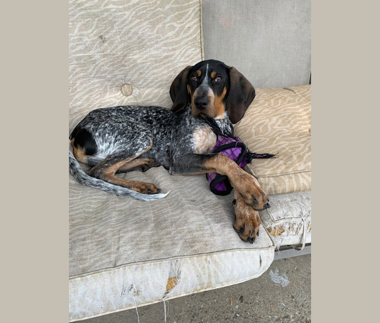 Photo of Archie, a Bluetick Coonhound  in Clinton, Tennessee, USA