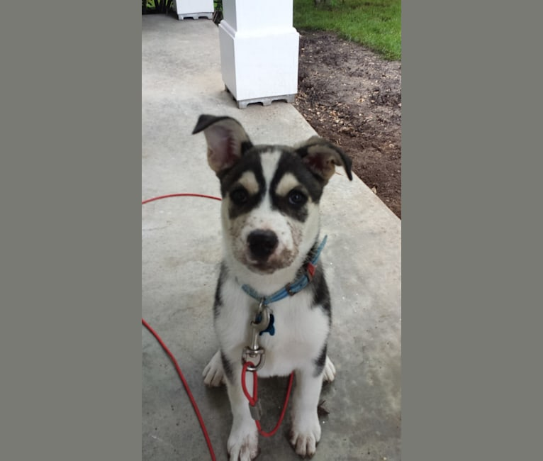 Photo of Maxwell, a Siberian Husky, Australian Cattle Dog, and Mixed mix in Purdy, Missouri, USA