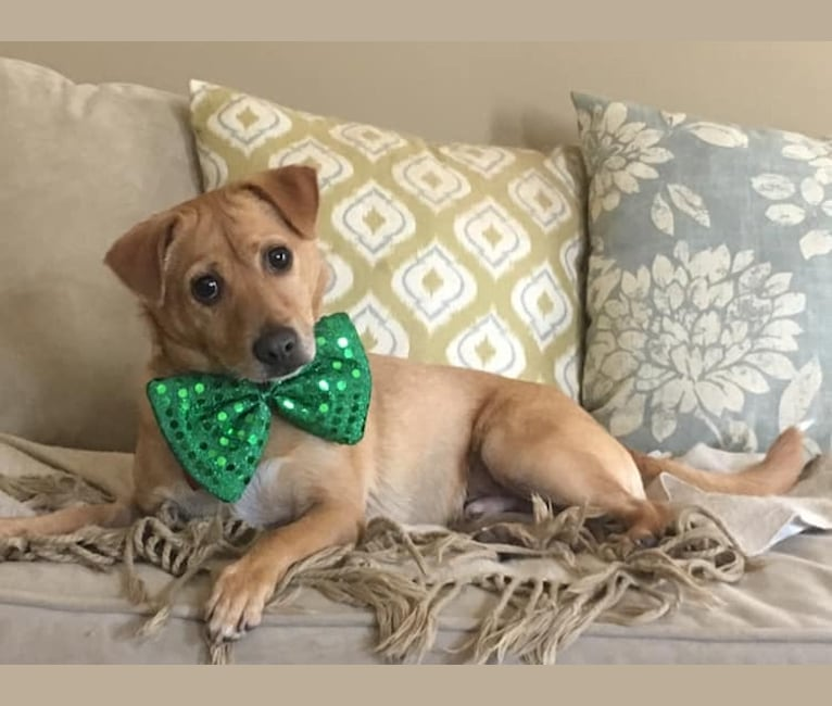Photo of Sole Pasquale, a Chihuahua, Miniature Pinscher, Pomeranian, Russell-type Terrier, and Mixed mix in Abbeville, Louisiana, USA