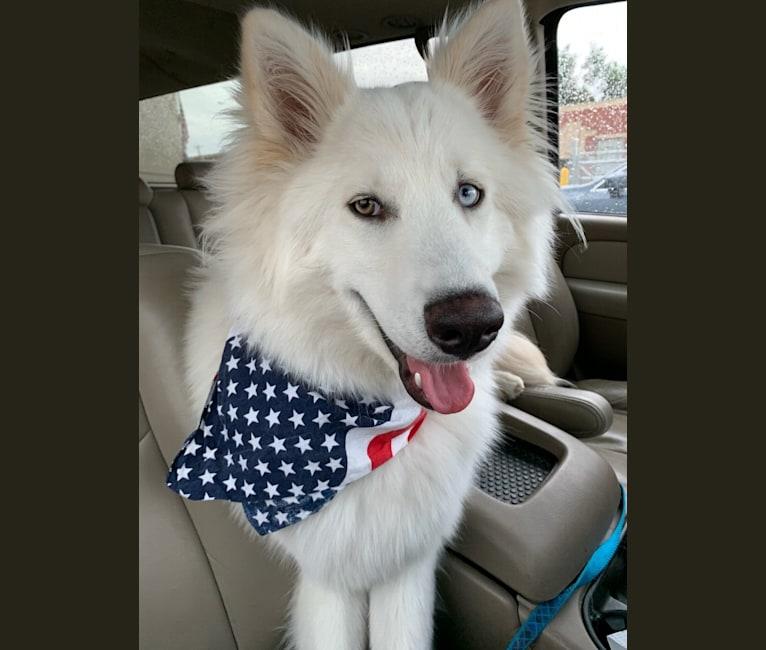 Photo of Ban, a Siberian Husky, German Shepherd Dog, Alaskan Malamute, and Samoyed mix in Corona, CA, USA