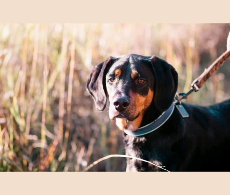 Photo of Rudy, an American English Coonhound, Black and Tan Coonhound, Australian Cattle Dog, and Mixed mix in Oklahoma, USA