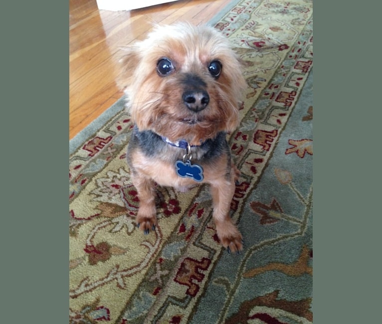 Photo of Buddy, a Yorkshire Terrier  in New York, New York, USA