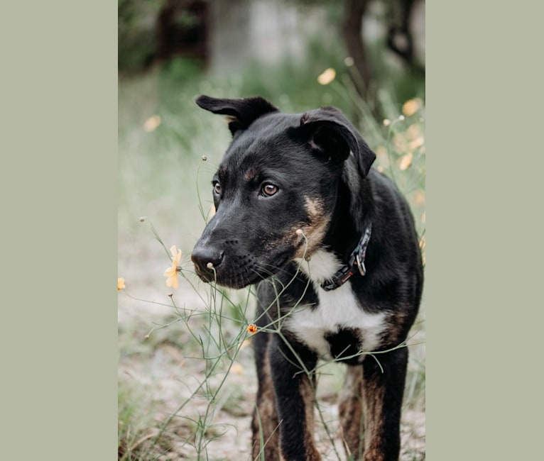 Photo of Ajax, a Boxer, Siberian Husky, and American Pit Bull Terrier mix in San Antonio, Texas, USA