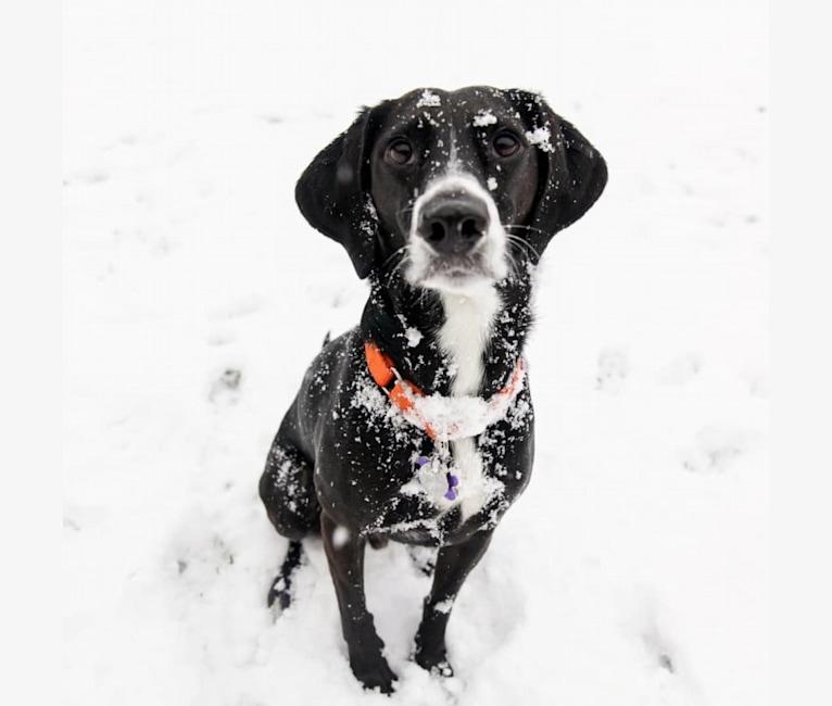 Photo of Renicks, a Labrador Retriever, Beagle, Doberman Pinscher, and Mixed mix in Columbus, OH, USA