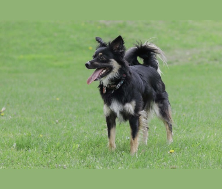 Photo of Cooper, an English Shepherd, Pomeranian, and Mixed mix in Prairie du Chien, Wisconsin, USA