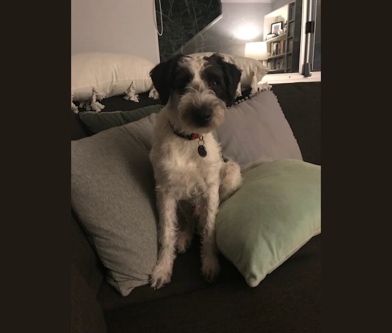 Photo of Baxter, a Schnoodle  in Victoria, Australia