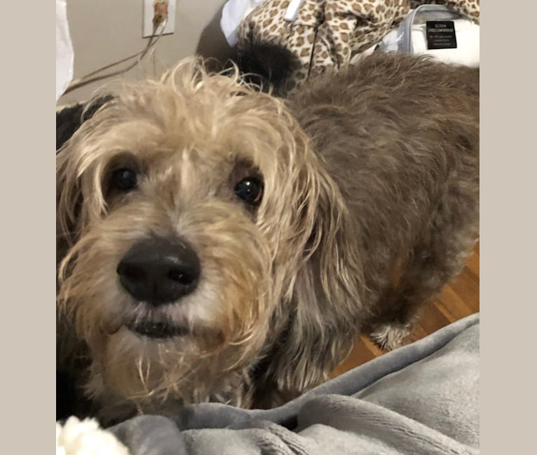 Photo of Ernie, a Poodle (Small) and Pug mix in Ohio, USA