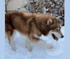 Photo of Emy, a Siberian Husky  in Utah, USA