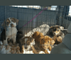 Photo of Cochise, a Labrador Retriever, Siberian Husky, American Pit Bull Terrier, and Mixed mix in Texas, USA