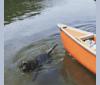 Photo of Luna, an Australian Cattle Dog, Shetland Sheepdog, Keeshond, Boston Terrier, Boykin Spaniel, Cocker Spaniel, Norwegian Elkhound, and Mixed mix in Warren, Pennsylvania, USA