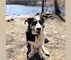 Photo of Franklin, a Labrador Retriever, Australian Shepherd, German Shepherd Dog, Pekingese, Poodle (Standard), and Mixed mix in Bridgeport, Connecticut, USA