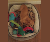 Photo of Cappo, a Chihuahua, Miniature Pinscher, Pug, Poodle (Small), and Mixed mix in Raeford, North Carolina, USA