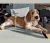 Photo of Rhett Thomas, a Basset Hound, Chow Chow, Cocker Spaniel, and Australian Cattle Dog mix in Dallas, Texas, USA