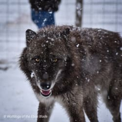 Cassiopeia of Wolfdogs of the Ebon Blade