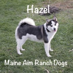 Miss Maine Aim Hazel