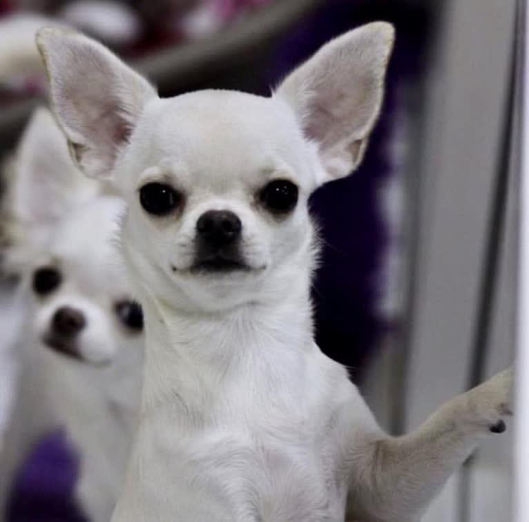 Photo of Bella, a Chihuahua