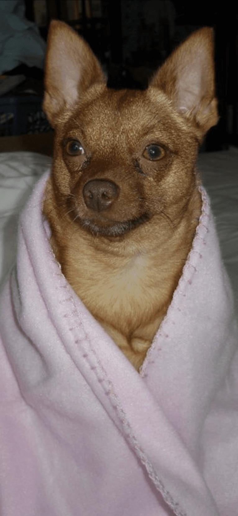 Photo of Rena Grace, a Miniature Pinscher and Pomeranian mix in Pineville, Louisiana, USA