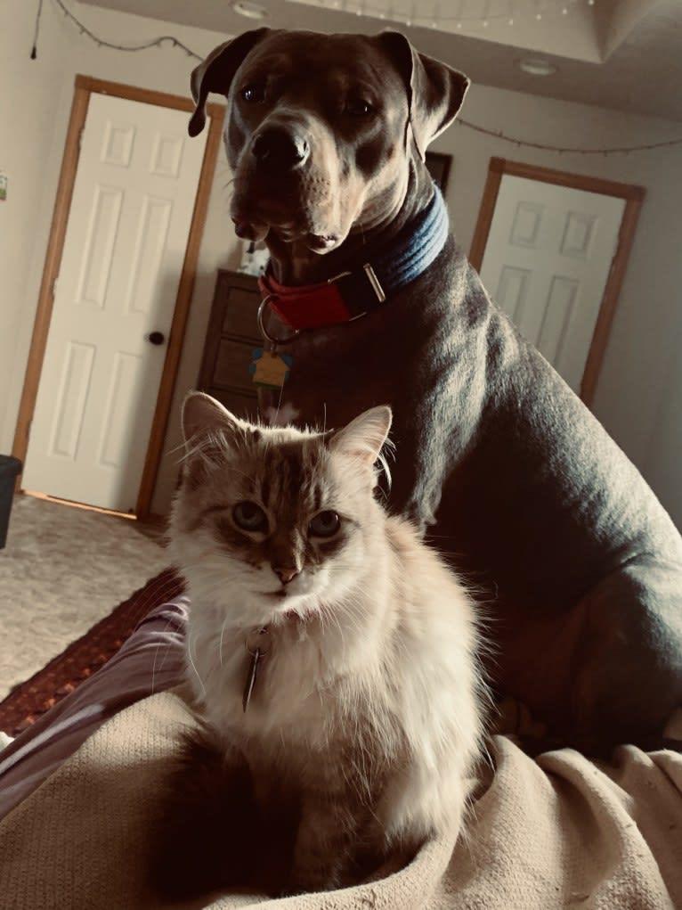 Photo of Smokey, an American Bully  in Oklahoma, USA