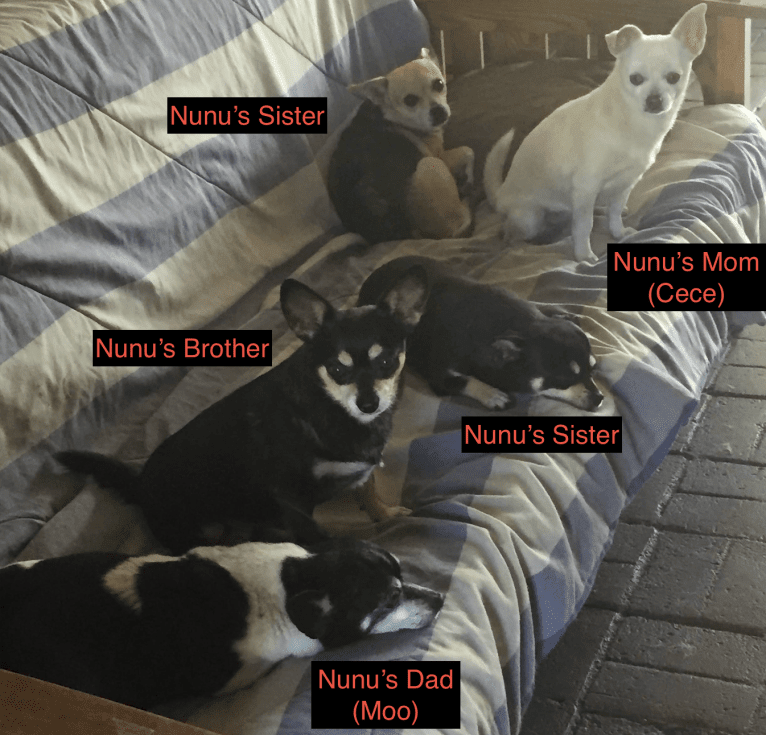 Photo of Nunu (+Oreo and Chippy), a Chihuahua and Mixed mix in Montclair, California, USA