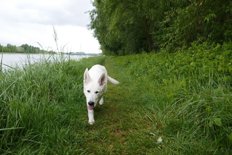 Photo of ALPINE VON WHITE NOBLESS, a White Shepherd  in Karlsruhe, Germany