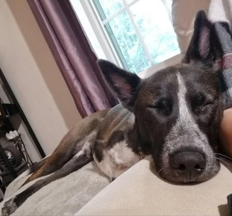 Photo of Kimbo, a Siberian Husky, Chow Chow, German Shepherd Dog, and Mixed mix in Puerto Rico