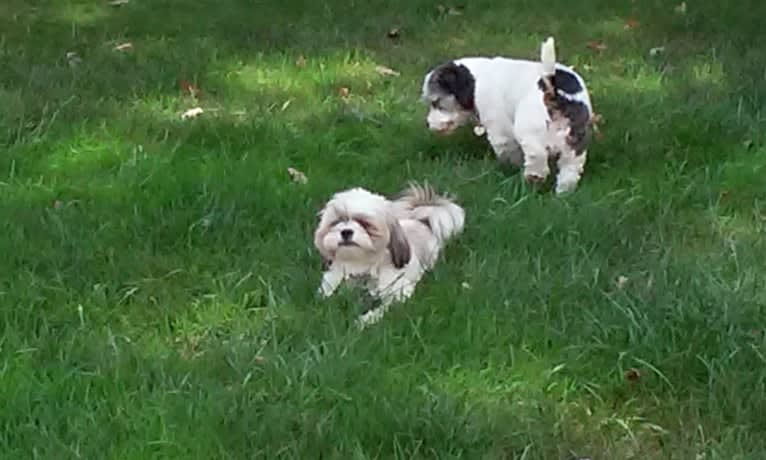 Photo of Spanky, a Shih Tzu, Cocker Spaniel, Russell-type Terrier, Chihuahua, and Dachshund mix in Holland, Michigan, USA