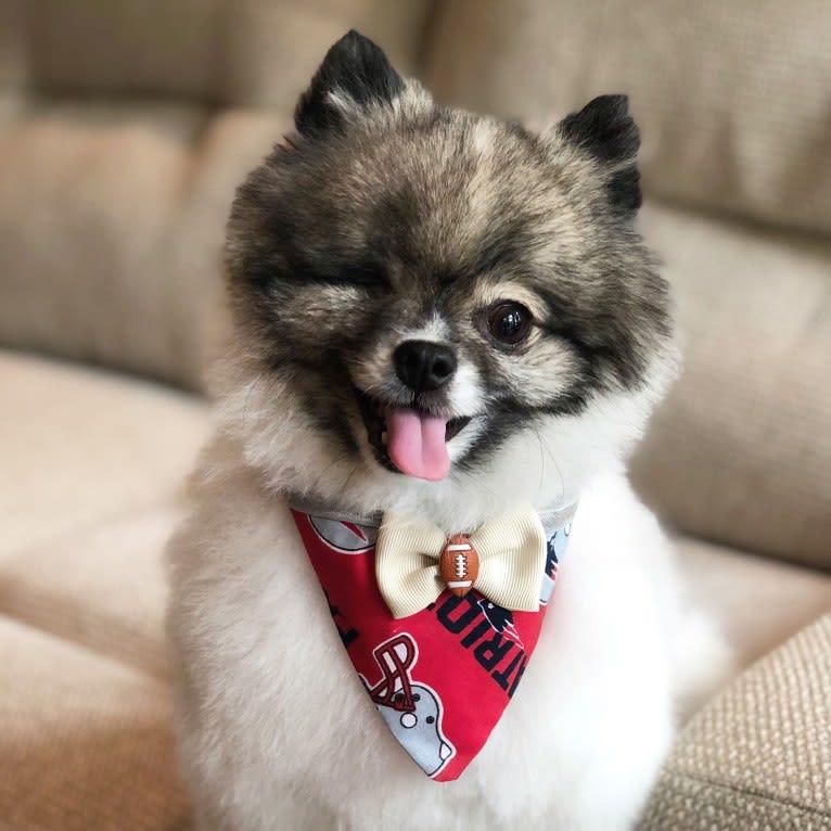 Photo of Skyler, a Pomeranian, Rat Terrier, and Pekingese mix in Seoul, South Korea