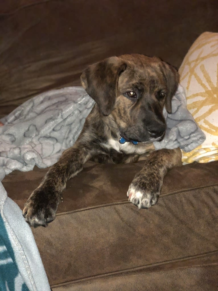 "Photo of Zeke ""Dekey"", a Cane Corso, English Springer Spaniel, and Rottweiler mix in Honey Brook, PA, USA"