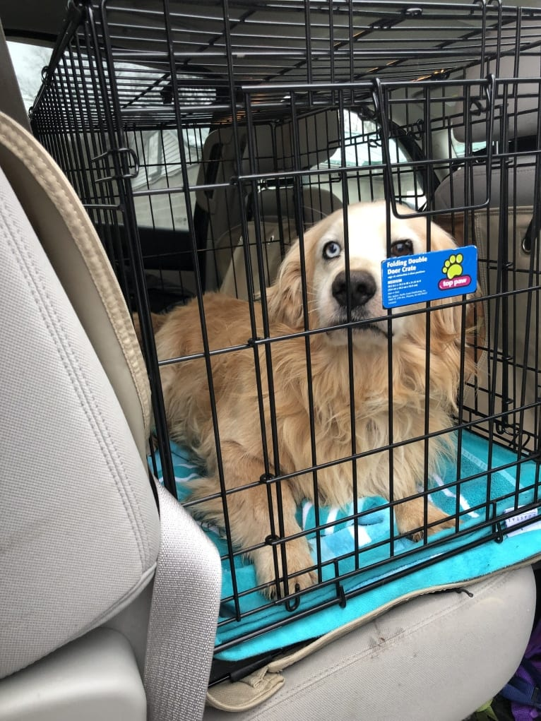 Photo of Jericho, a Golden Retriever, Shih Tzu, and Dachshund mix in New York, New York, USA