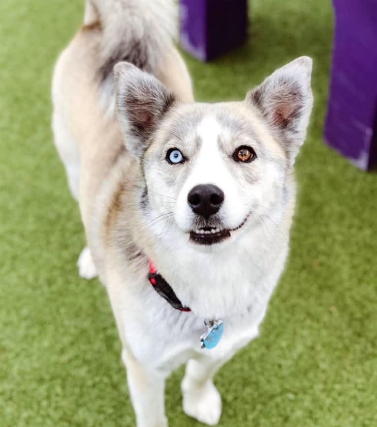 Photo of Sam, a Siberian Husky and Mixed mix