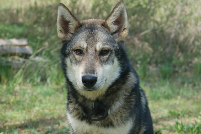 Photo of Simply Southern's Wild Wolf, a   in Marion, NC, USA