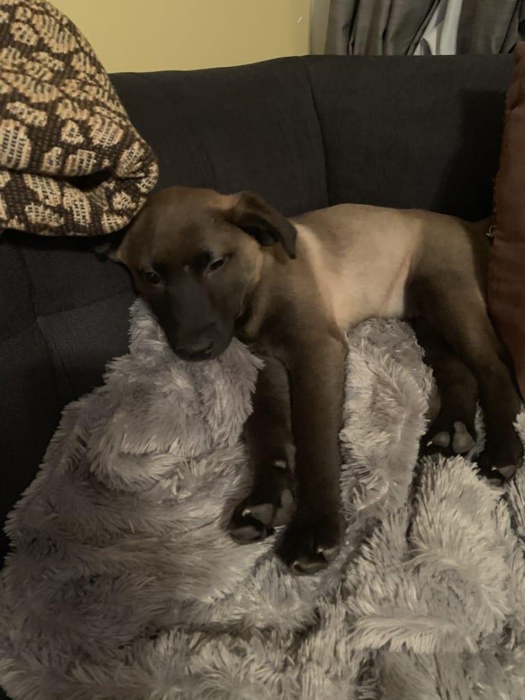 Photo of Gracie, an American Pit Bull Terrier, Labrador Retriever, Chow Chow, Siberian Husky, German Shepherd Dog, and Mixed mix in Goldsboro, North Carolina, USA