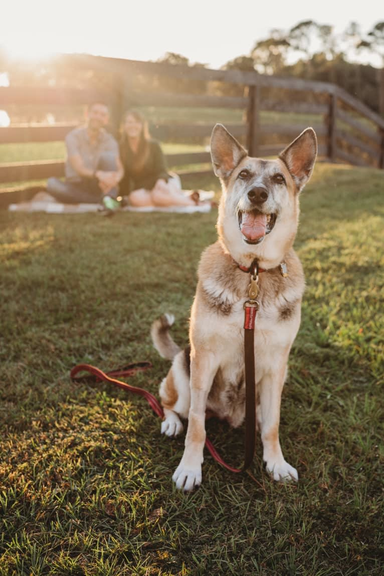 Photo of Brie, a German Shepherd Dog, American Eskimo Dog, and Boxer mix in Odessa, Florida, USA