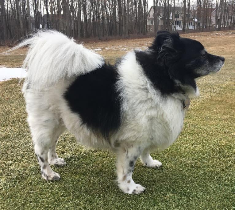 Photo of Piper, an American Eskimo Dog mix